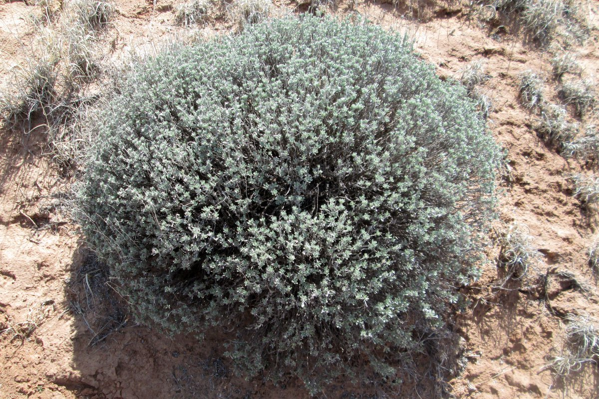 Bigelow Sagebrush (Artemisia bigelovii) is similar to a small A. tridentata (Common Sagebrush), with lobed leaves & woody stems. A. bigelovii has rays on its tiny flowers, A. tridentata doesnt; last year's inflorescence stems linger until the next bloom.(hl) #PetrifiedForest