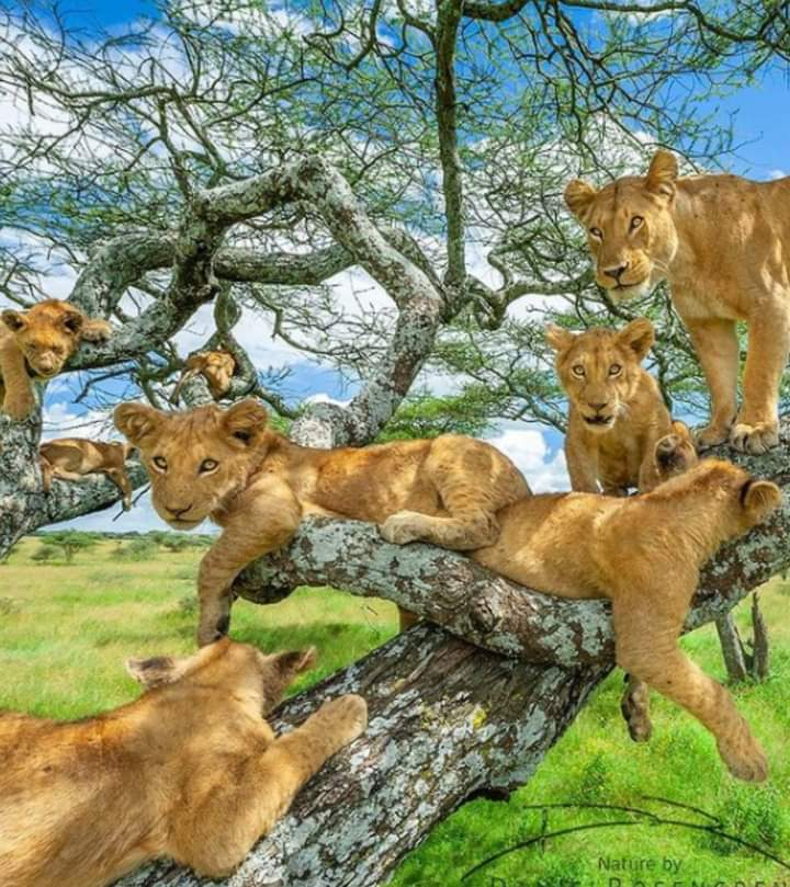 Fantastic 😍 tree full of lions 😍
