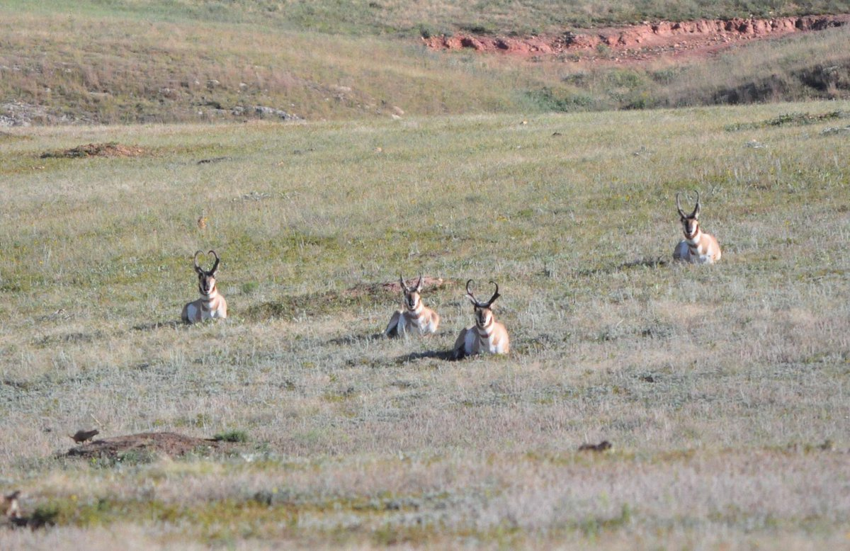 Keep your distance. Recreate with the people in your household. Give others plenty of room whether you are on a trail, in a parking lot, or amongst the pronghorn.  📸Pronghorn socially distancing at @WindCaveNPS. #RecreateResponsibly