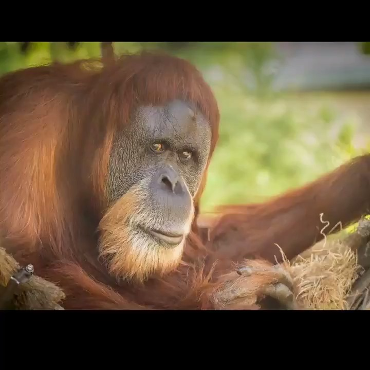 In loving memory of Inji. At 61, she was the world's oldest known orangutan, and one of the sweetest.