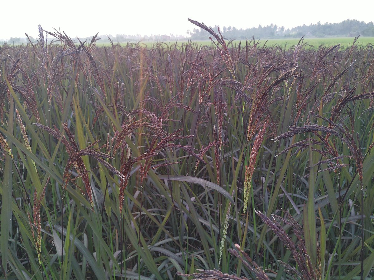 @rameshpandeyifs Black rice is also cultivated in Odisha, known as Kalabati and Kalabhat. Some glimpse of its beauty from our own field at Pipili black.