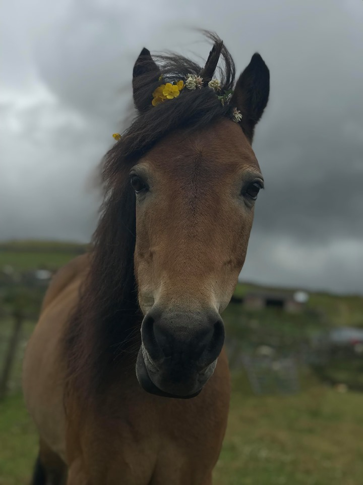 Please retweet to help Axel find a home #CAERNARFON #WALES 🏴  Aged 21, narrowly avoided meat factory, lovely character, Dartmoor pony, looking for loving experienced home, been in the shelter since 2016💔⭐️👇    #horses #ponies #snow #animals #pets #Sunday