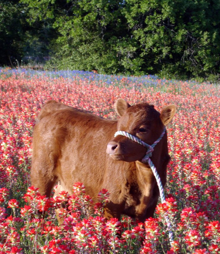 Replying to @cybrxangel: oh to be a little cow in a flower field