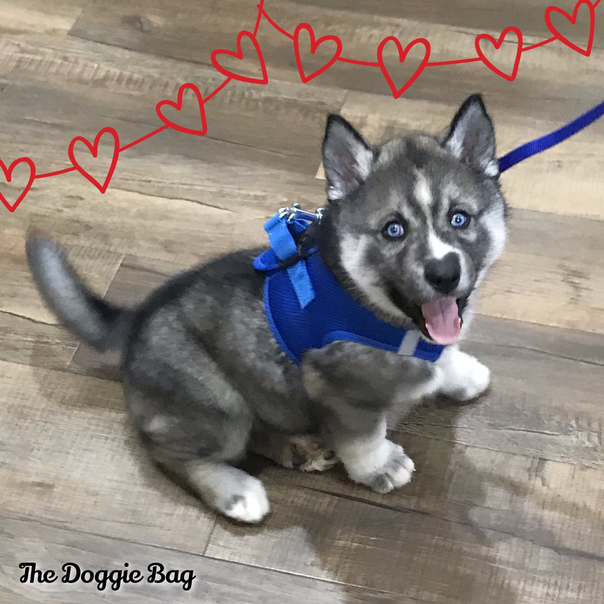 This Guy!!🤗 We just can't get enough of Loki!😍  #husky #huskypuppy #huskylife #huskylove #thatface #puppylove #thedoggiebag #petboutique #dogsoflakeland #dogmomsoflkld #lakelandflorida