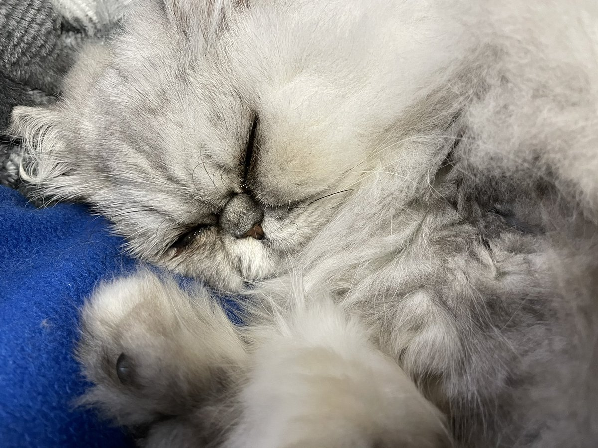 リビングにいたはずのココが見当たらず隠れ名人!と思っていたらベランダにいた💦ドアが渋く開けたドアの逆側も開きカーテンで隠れていました😨1階じゃなくて良かったけど皆さまお気をつけ下さい‼️#persiancat  #ペルシャ猫 #チンチラシルバー #猫のいる暮らし #coco #ココ