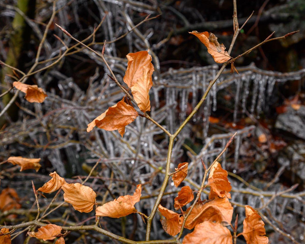 #Beech leaves  #dovestonereservoir #nikon #z6 300mmPF +1.4TC  #dovestone #reservoir #lancashire #light #branches #hills #hillside #tree #trees #countryside #pennines #weather #winter #waterfall #lake #nature #stream #nikonz6 #chilly #ice #icicles #cold @VisitLancashire @visit_mcr