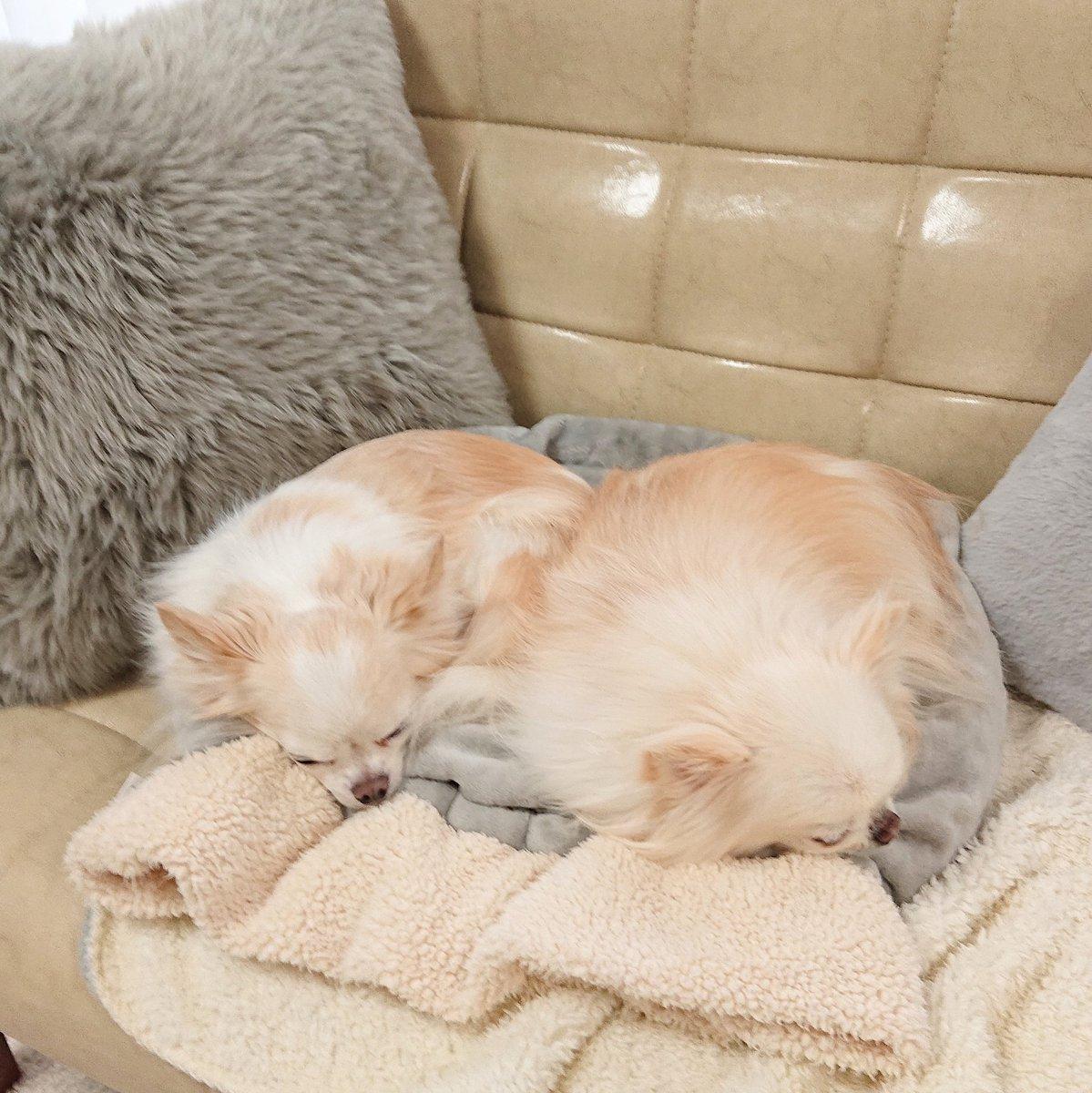 昨日からかなり寒め。 くっついて寝とこー!  #チワワ #ちわわ #ロングコートチワワ #Chihuahua #ちび太 #風太 #犬 #dog
