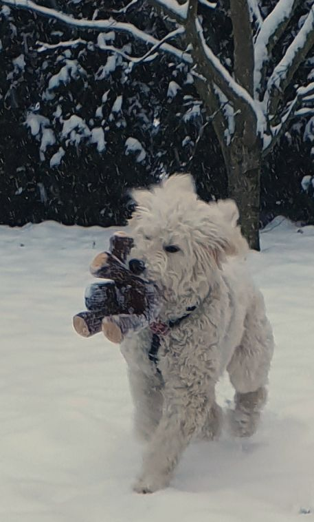 I had to show my reindeer its natural habitat. I think he liked it 🥰 #dogs #dogsoftwitter #goldendoodle #MondayMotivation