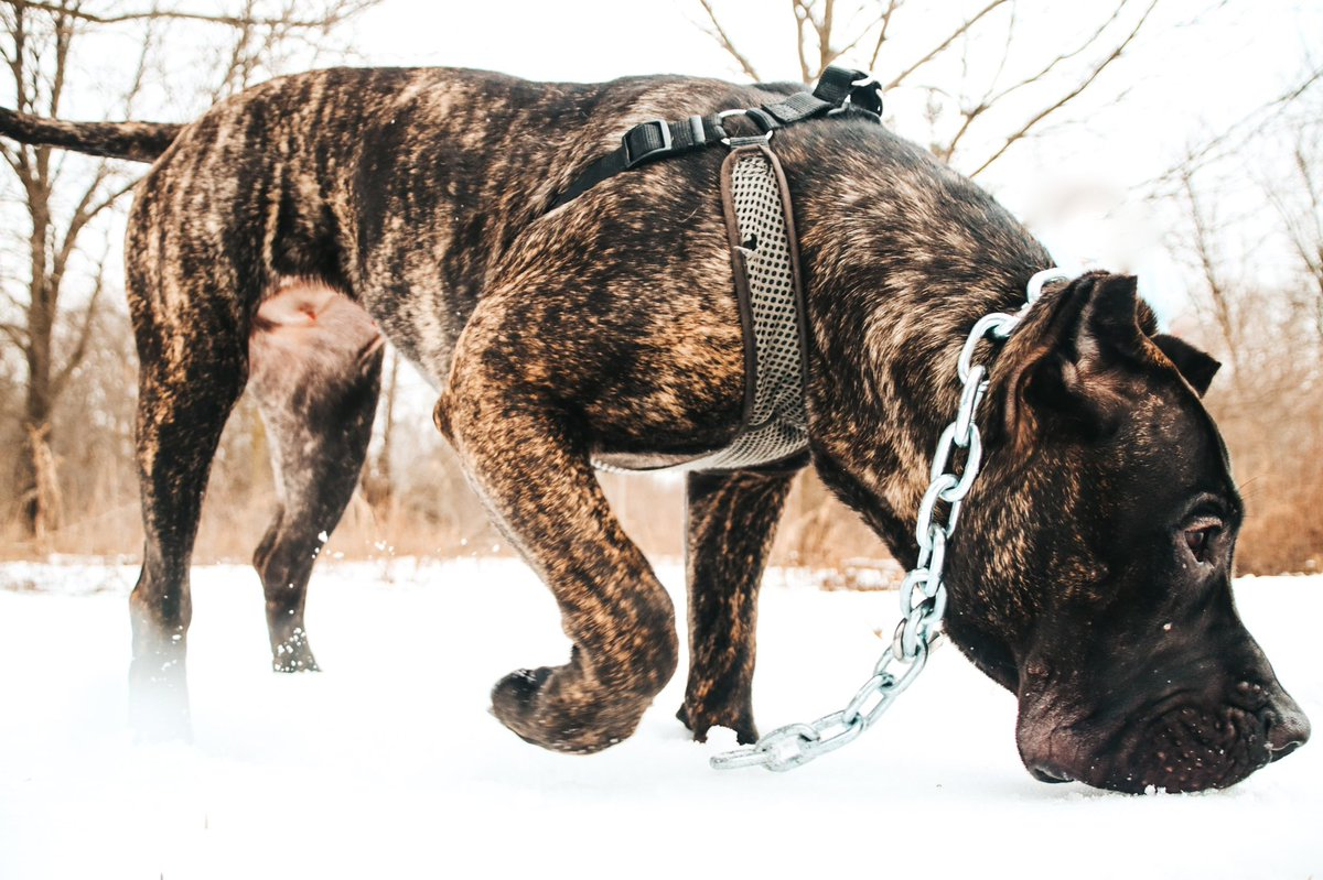 i don't really post my work on twitter, but i'm just so proud of these shots so i'm putting them on all platforms 🙂 hope you all enjoy them as much as me! #dogsoftwitter #viral #CaneCorso #frenchbulldog