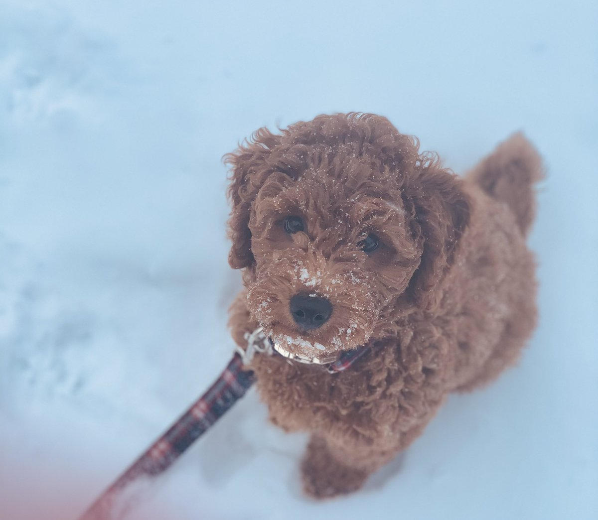 This guy.... loving the snow!  Follow @eliersanpup on Instagram. #puppies #dogs #goldendoodle #snowpose #dogsoftwitter