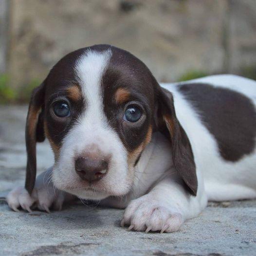 Credit to - (I/G - chocpied..mochi) #dogsoftwitter #Dog #dogsofinstagram #DogsofTwittter #doggo #doggychallenge