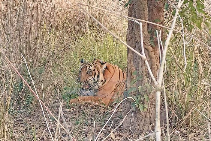 As a part of tiger population augmentation program,  a male tiger captured from Corbett Tiger Reserve has been successfully released in Rajaji Tiger Reserve. This is in addition to the tigress released last month.