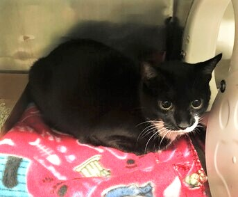 **PREGNANT** Penelope was found about a month ago and was surrendered due to not getting along with the resident cat. Penelope is pregnant. She is affectionate and friendly and needs a foster home asap. Who will help this pretty gal today?