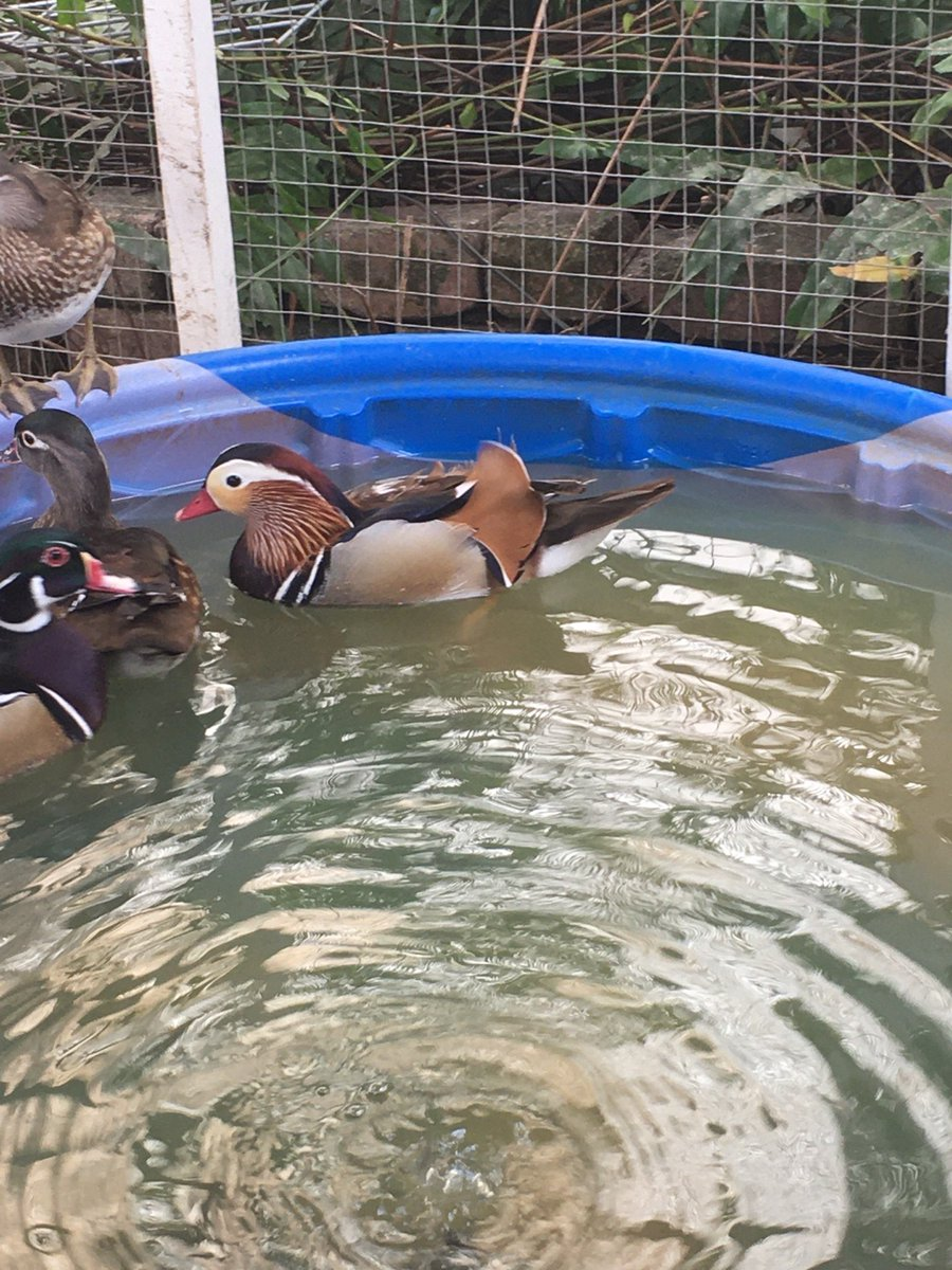 🚨🚨breaking BIRD news🚨🚨  A (the??) Mandarin Duck was spotted in Ciales, Puerto Rico this weekend. 📸 @julcanr0d