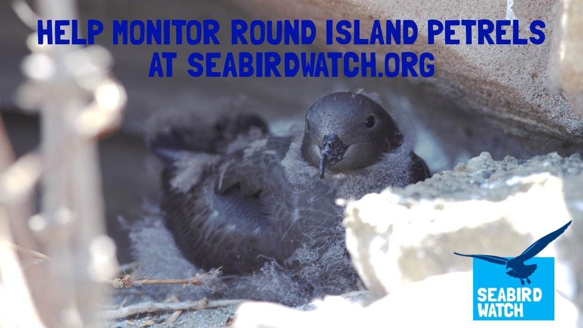 The @seabird_watch #CitizenScience project in #Mauritius needs your help . Can you count eggs , chicks & adult #RoundIslandPetrels in photos ? And possibly giant tortoises & snakes too ! An easy-to-follow tutorial & guide can be found at