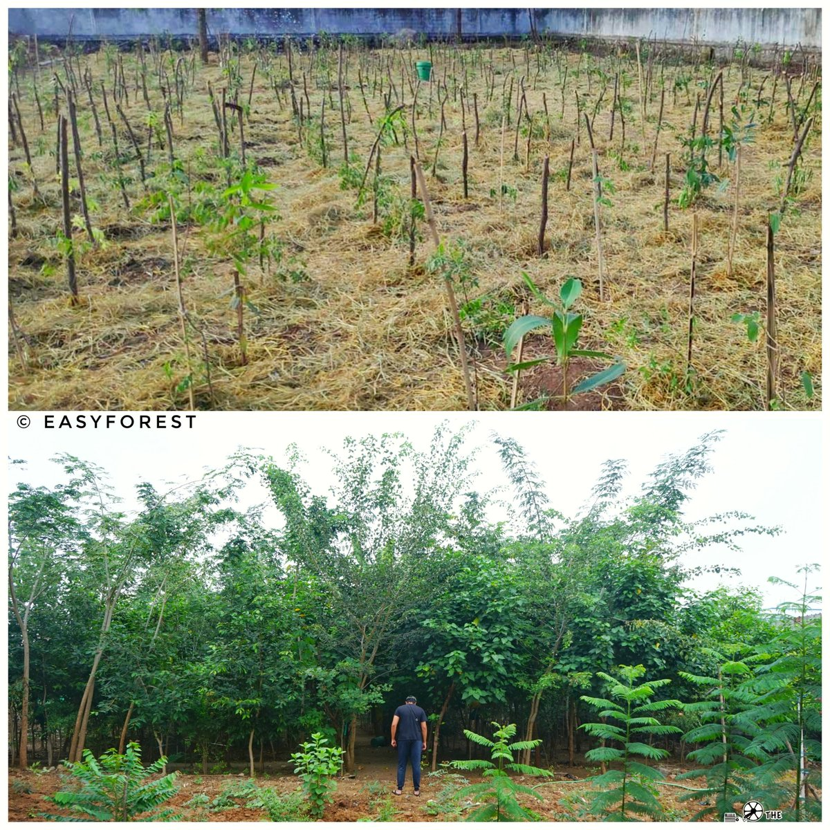@ashwinravi99 @Hanumavihari  You guys never gave up. Faced 259 balls in total.  We at EasyForest, will plant an urban dense forest (similar to attached pic) in near future with 259 trees to remember the big day. #SCGTest  Hats off #TeamIndia🇮🇳 @BCCI  For the legend #RahulDravid