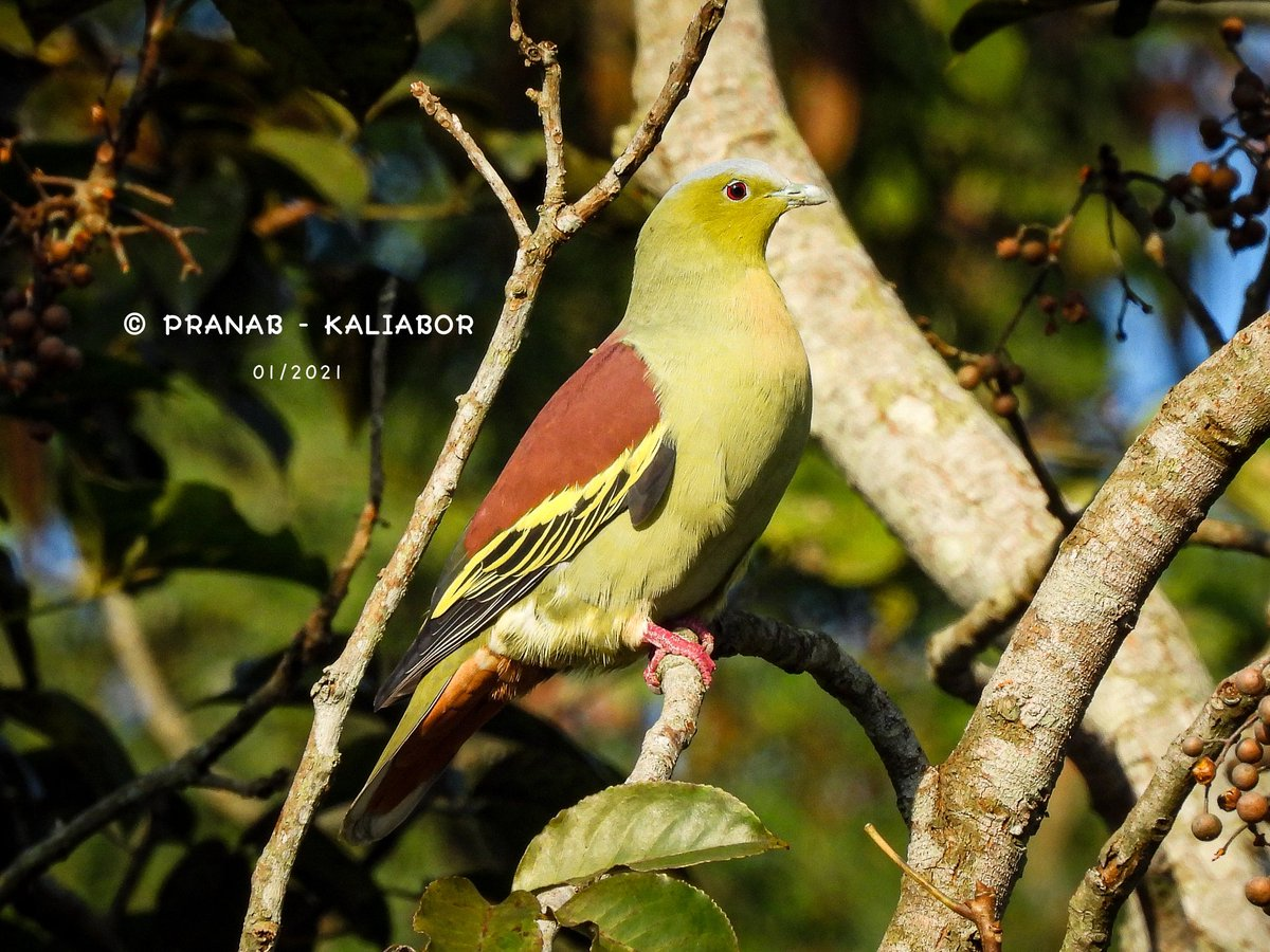 The ashy-headed green pigeon is a pigeon in the genus Treron. It is found from Nepal, northeast India and Bangladesh to southwest China, Myanmar, Thailand, Laos, and Vietnam.  It has been added in the Red List of IUCN in 2014. https://t.co/msrGxiFGPd