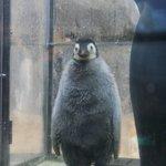Image for the Tweet beginning: すらっとしてました。 #皇帝ペンギン #アドベンチャーワールド