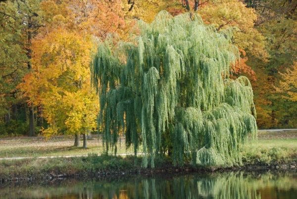Replying to @ashhhhhhole: i just think that weeping willows