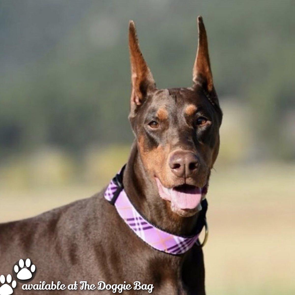 She's looking lovely in the Lavender Lattice #Collar from #UpCountryDog. 💜  Available at The Doggie Bag. 🐾❤️  📸 @moosesmum   #collars #dogcollar #dogstyle #dogfashion #doglife #doberman #dobermanpinscher #thedoggiebag #petboutique #shoplakeland #lakelandflorida #lakelandfl