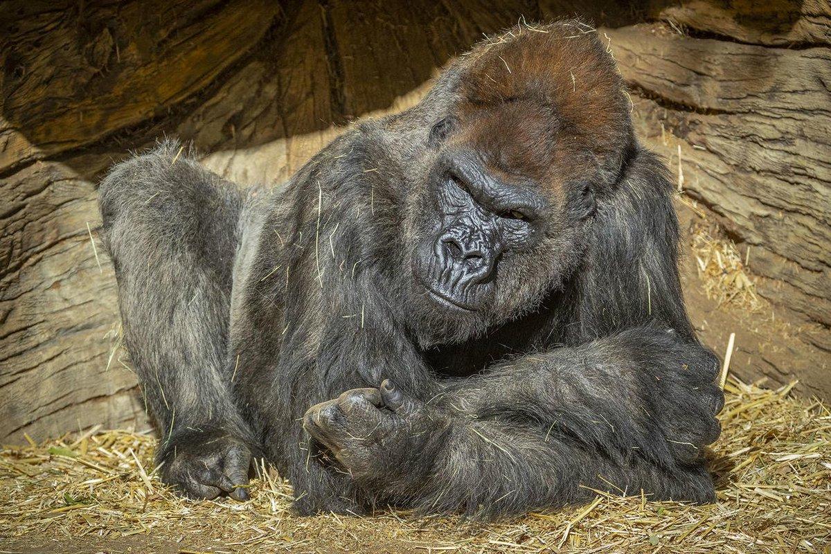 Gorillas at San Diego Zoo Safari Park Test Positive for Coronavirus