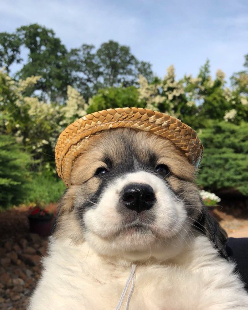 This is Henley. Her lucky hat keeps shrinking. It used to fit so well. If anybody knows what could be causing this please let her know. 13/10