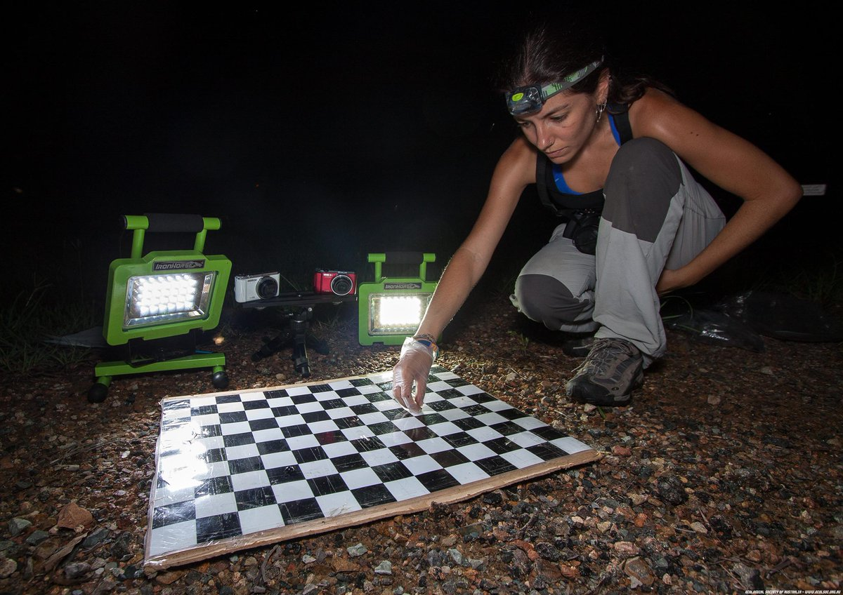 Ecologist @m_vidalgarcia placing a #frog on the 'chess board' (for reference) to record it jumping. Its movements are compared with their body/limb #morphology/#phylogeny for her research into the #evolution & #diversification of Australian frogs.  📷: Jordan de Jong #ecolsocaus