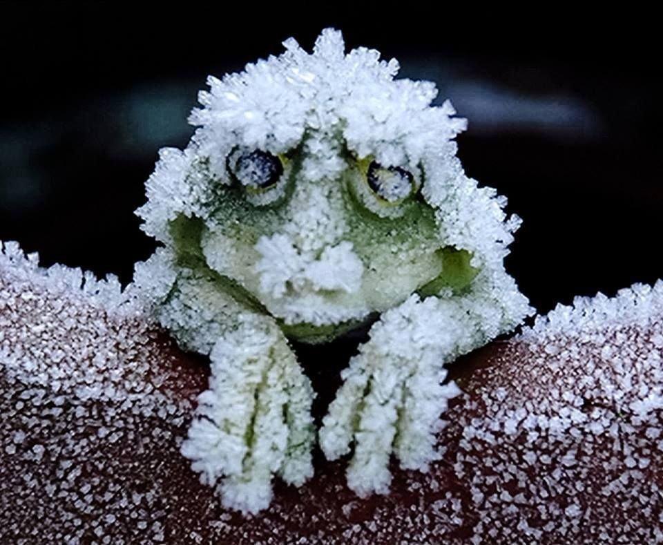 アメリカアカガエルの神秘!心停止の完全な冬眠に入り、春になると復活する!