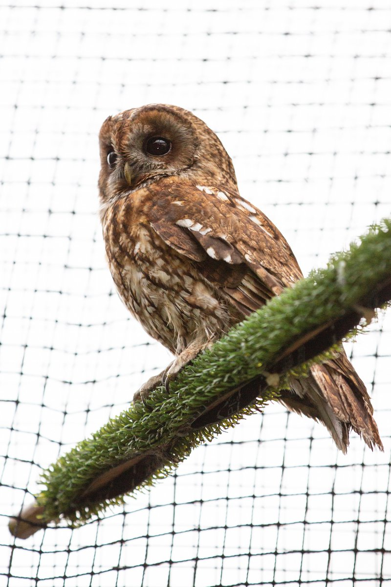 In just 24 hours, our soot-covered tawny #owl has made an amazing recovery!   After a clean-up and feed, it is already much brighter and has now been moved into one of our aviaries to stretch its wings.   With a response this good, it should be back in the wild in no time!