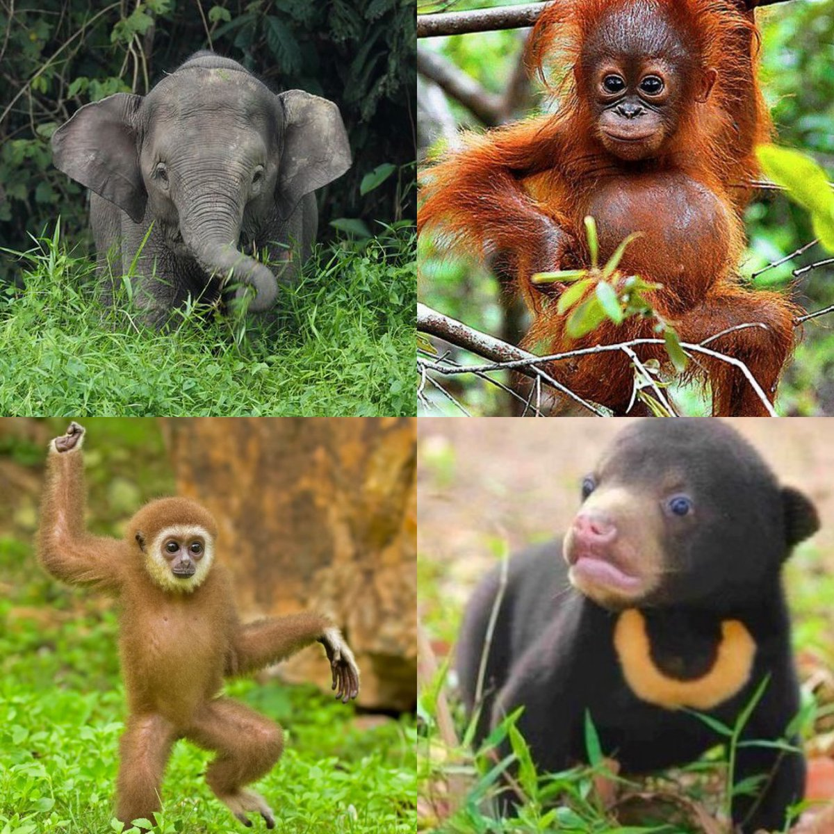 Today's in class conversation talked about how each of these animals is being affected by the palm oil industry. <a target='_blank' href='http://search.twitter.com/search?q=APSGreen'><a target='_blank' href='https://twitter.com/hashtag/APSGreen?src=hash'>#APSGreen</a></a> <a target='_blank' href='https://t.co/AFJ8e3ImpO'>https://t.co/AFJ8e3ImpO</a>