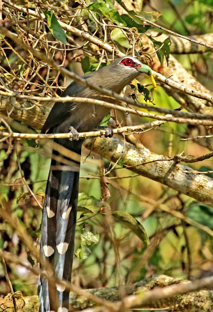 #BirdsWithFood .. Green billed Malkoha @IndiAves @Avibase #IndiAves #birdwatching #birdphotography #birds https://t.co/ME8T6zG1bc