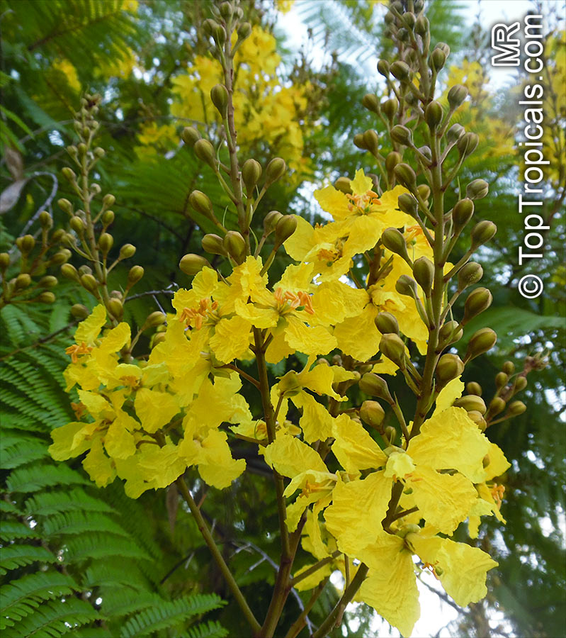 #Peltophorum dubium - Golden Flamboyant, Yellow Poinciana has dark green leathery leaflets, yellow #fragrantflowers and alongated seedpod. Grown as an #ornamentalplants. This species starts blooming in a pot in small size.   #floweringtrees #TuesdayTreat