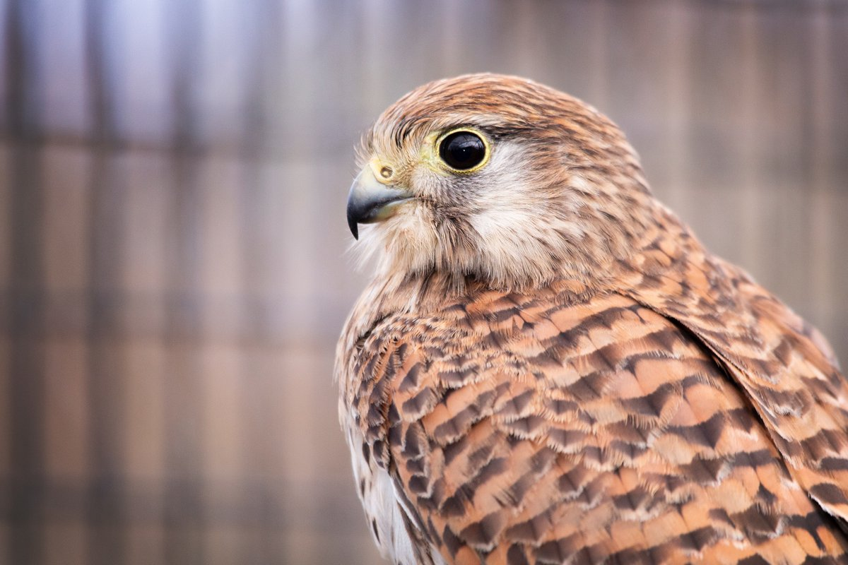We're thrilled to say that our broken-wing #kestrel has healed beautifully!   Once the splint was removed, the kestrel has been spending a little time in one of aviaries for some exercise.   Now able to fly perfectly, it won't be long before she can, at last, return to the wild!
