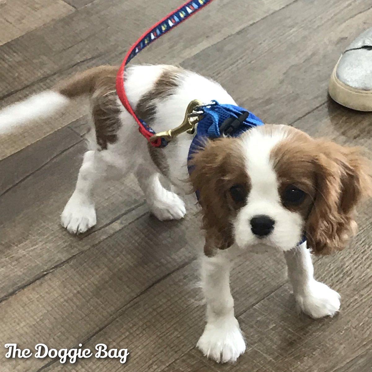 It's the Perfect Fit!🐾 Grady looks mighty handsome in his new #Harness & #Lead from #TheDoggieBag!💙  #cavalier #cavalierkingcharlesspaniel #puppylove #puppylife #doggiedesign #upcountrydog #dogsoflakeland #dogmomsoflkld #shoplakeland #petboutique #happyplace #lakelandflorida