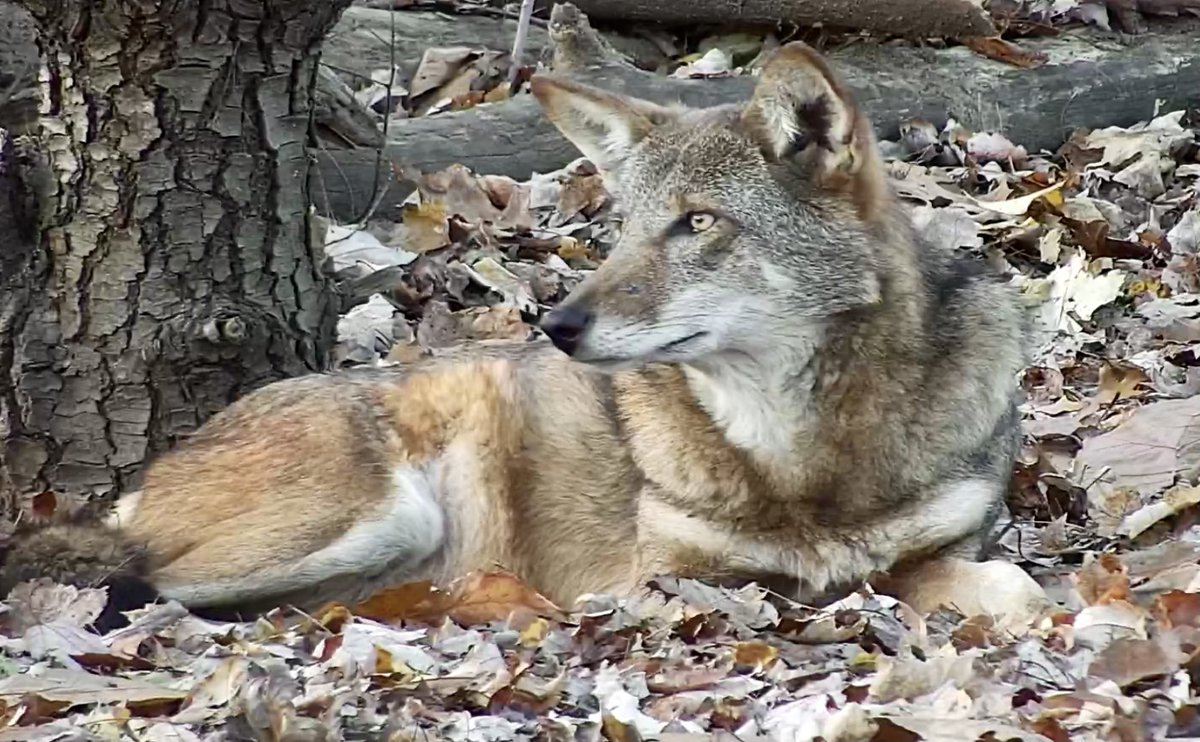 The red wolf is a separate species from the gray wolf, + with just 8 known to remain in the wild, it's the world's most endangered canid. They're generally smaller than gray wolves + known for their reddish fur.  Join Charlotte now via webcam ➡️
