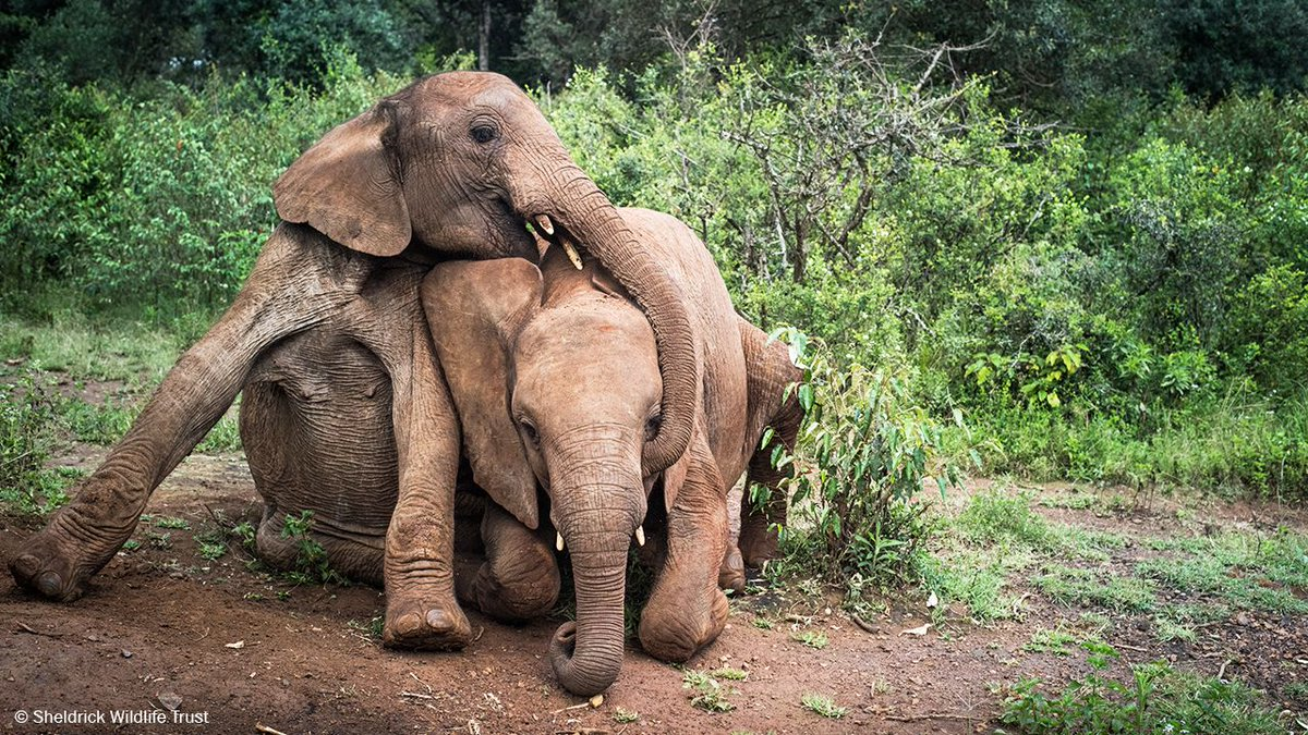 After a hard start to life, our Nairobi Nursery offers rescued orphan infant #elephants a family, security and a second chance at life. Orphans remain here until they have recovered and are ready to learn survival skills in the wild: sheldrickwildlifetrust.org/projects/orpha…