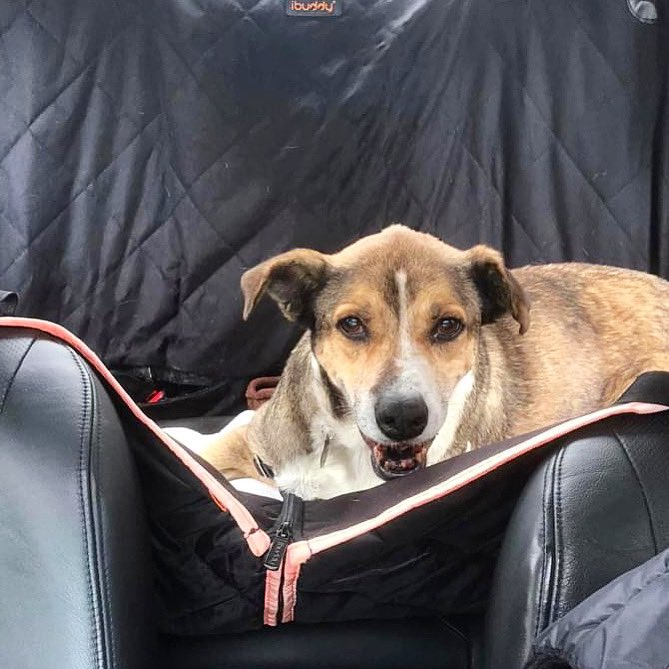"""""""Get in loser we're going to the dog park"""" - Scooby. Scooby is a healthy senior boy who loves car rides, walks and snuggles. https://t.co/aepz8vPkJL"""