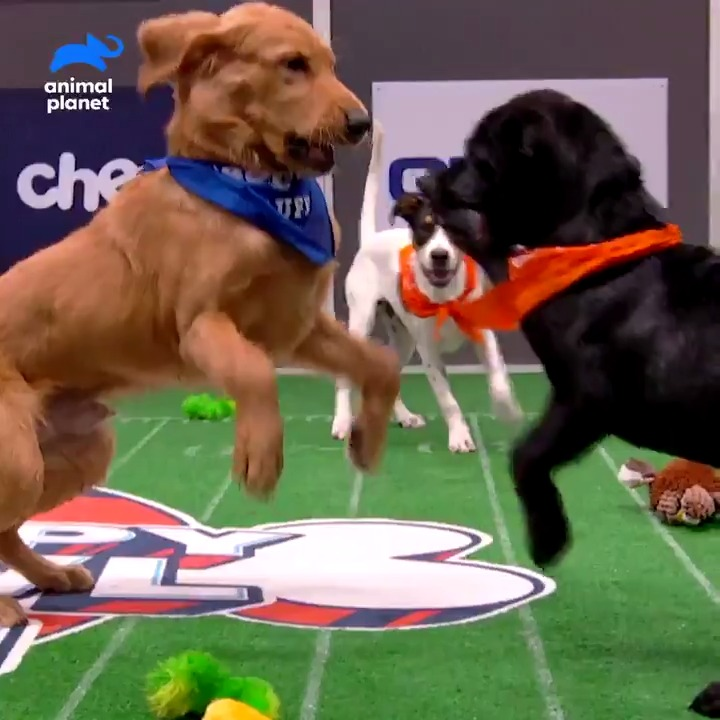 🚨Last day to choose which pups advance to the next round of Pupularity Playoffs.  ☑️Vote now at !  📺Watch #PuppyBowl Sunday Feb 7 at 2P on Animal Planet and stream it on #discoveryplus.