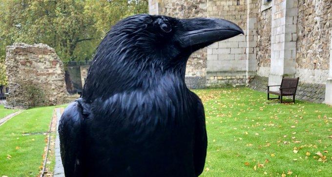Il corvo della Torre di Londra si presume morto dopo un'assenza di più settimane