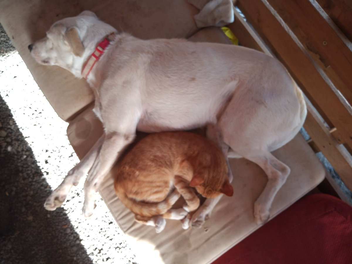 Who said #cats and #dogs friendship is not real? Two of our rescued animals: 🐱Pepe and 🐶Coco taking a nap after a long day of doing nothing 😬 #animals #rescueanimals #ngo #animalfriendship #animalrescue #refugiodeanimales #animalsanctuary