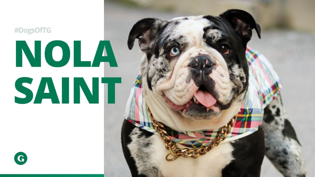 Meet our resident K-9 fashionista Nola Saint!   This 2-year-old English Bulldog loves to play, snack and serve a look, obviously!  #DogsOfTG