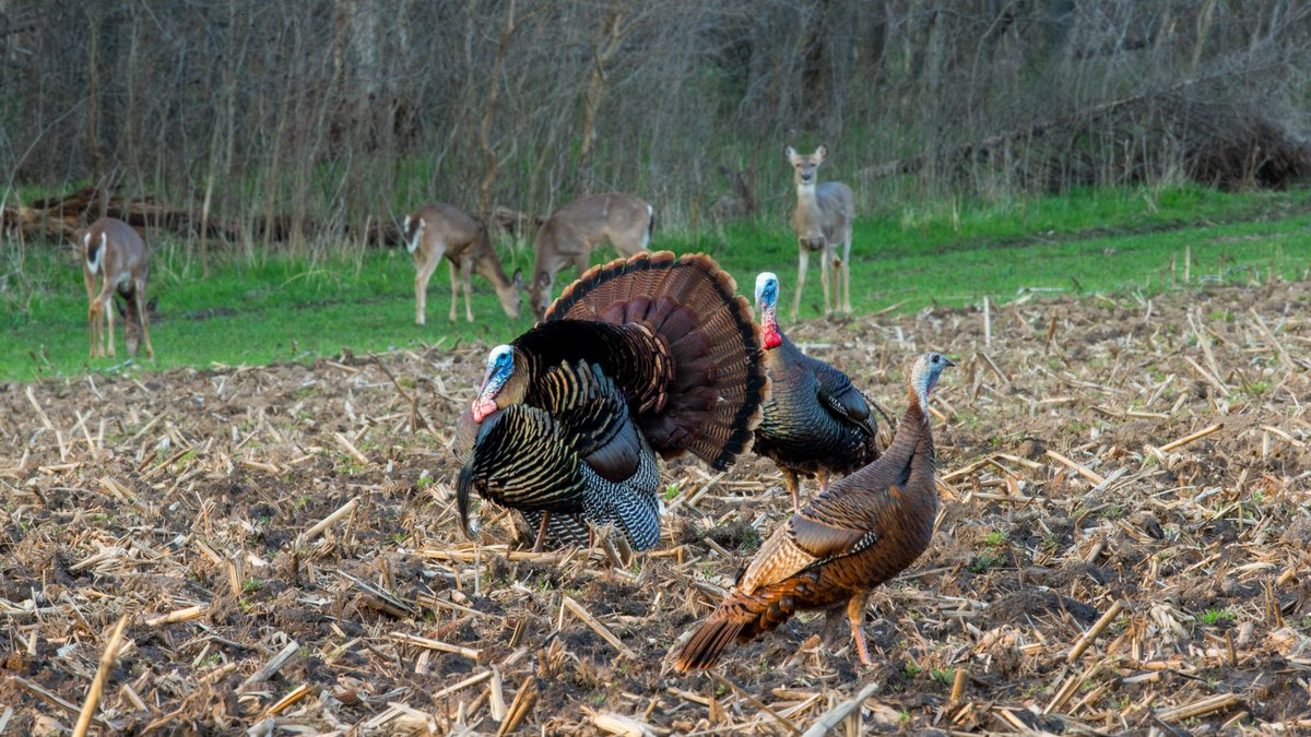 """There are many reasons why a gobbler might still be """"henned up"""" during the later part of the season. Dr. Tom weighs in.   #turkeyhunting   #nwtf   #turkeyseason"""