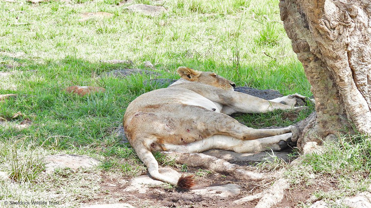 This heavily pregnant lioness could barely stand and was covered in painful wounds following a fight with other lions. The SWT/KWS Vet Unit tended her injuries, giving her a good chance of recovery, saving not only her life but that of her unborn young!