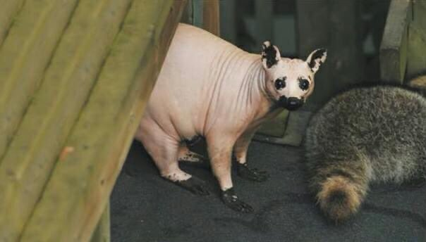 okay but what about hairless raccoons @Corpse_Husband ?