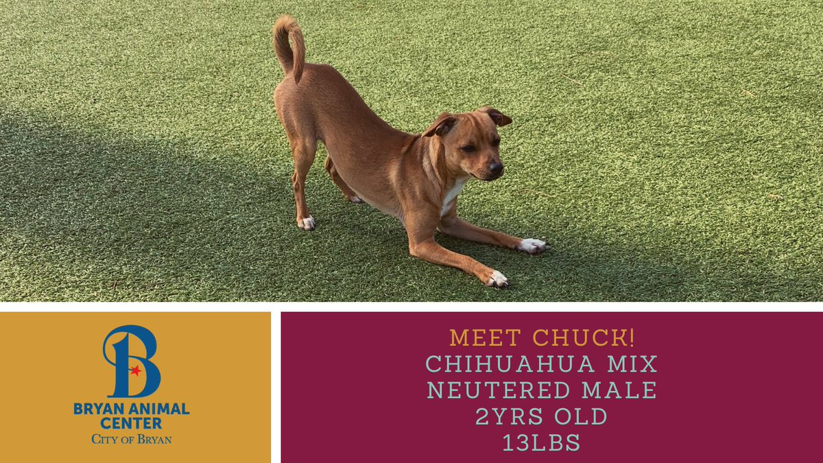 Meet Chuck! He is a sweet chihuahua mix that will steal your heart! If you would like to meet Chuck submit an online application at . #MeetChuck #Chihuahua #Betterinbryan #adopt #stealyourheart #rescue #bryananimalcenter