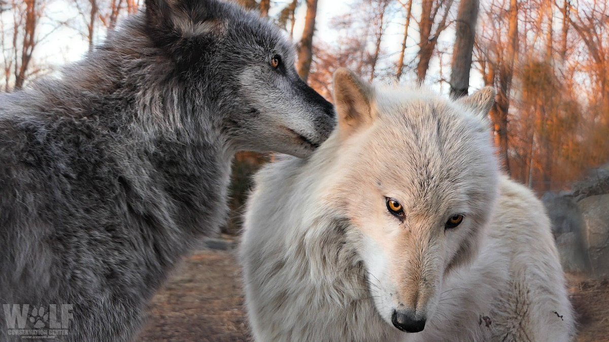 Psst... Wolves are essential. Pass it on 🐺