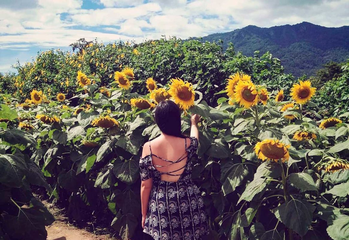 Durante enero y febrero florecen los girasoles en los campos de Mocorito. Estos paisajes parecen salidos de un cuadro de Van Gogh.