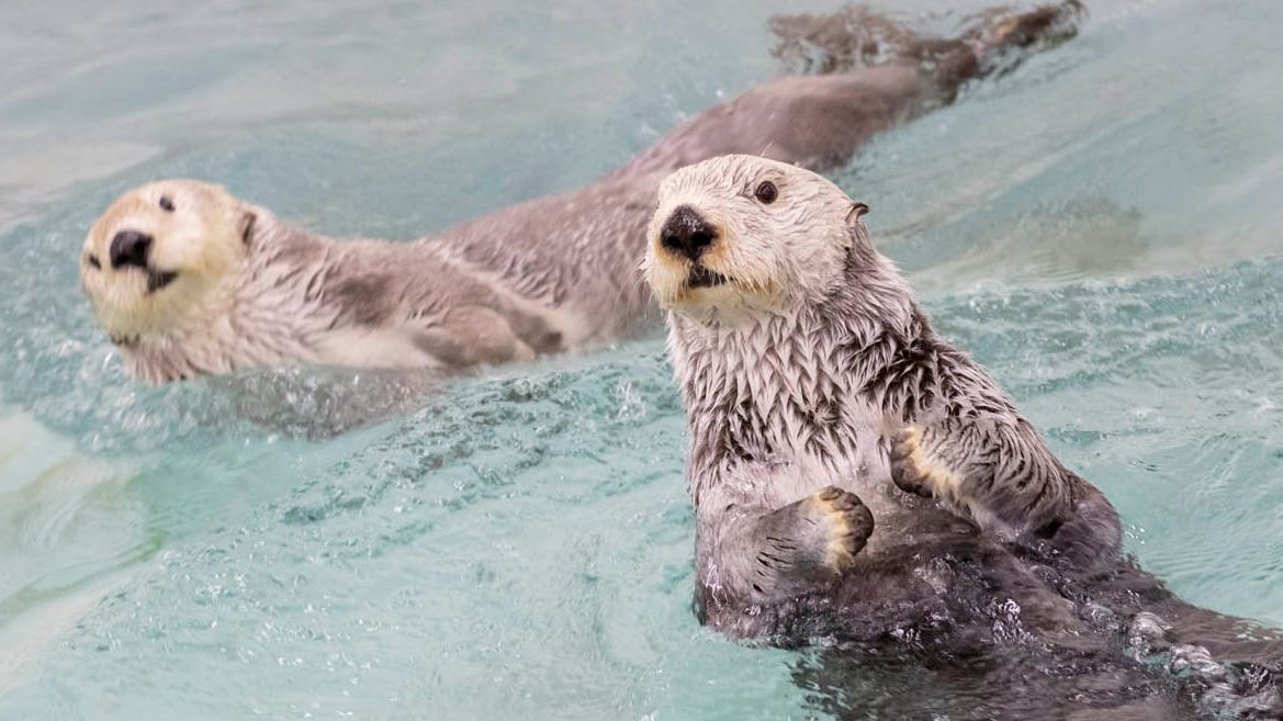 Win a Virtual Animal Encounter! We're teaming up with @Do312 to give away a virtual encounter of your choice. Want to see sea otters play? 🦦 Hang out with the penguins in their habitat? 🐧 Hear what a sea lion sounds like? See T&Cs and enter to win!  ➡️