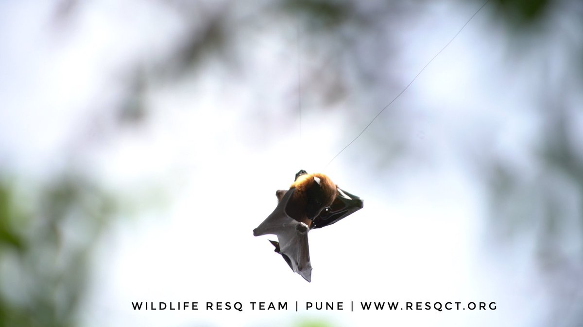 Kite flying with synthetic manja is a death loop for scores of birds every single year. Don't buy it, educate people around you not to use it...a few hours of fun is a death noose for many. Eat til and gud today 😁 don't go #bat, shit, crazy. #MakarSankranti #MakarSankranti2021