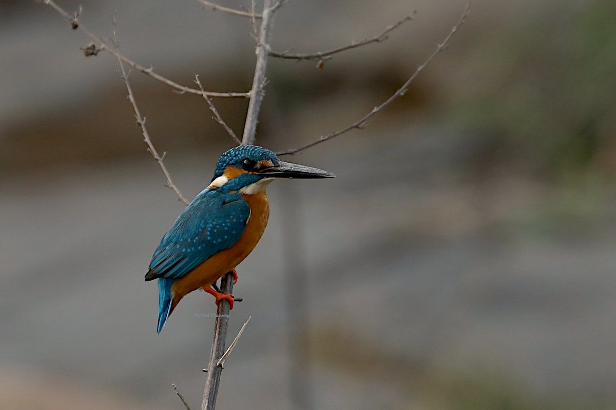 Day 2 10:00 am #STOPTHEBLASTING Posting daily until the blasting is stopped!  Nature lovers please RT🙏 #Backyardbirds  #IndiAves @PMOIndia @moefcc @CMOTamilNadu @DrAChellaKumar   M & F Common Kingfisher Alcedo atthis 📷7/01/2021 Clicked on the same perch - 🧘♀️for 1 hour++ https://t.co/JPhP2grkN7